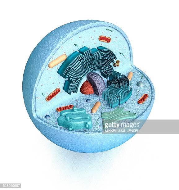 illustrazioni stock, clip art, cartoni animati e icone di tendenza di animal cell, artwork - biologia