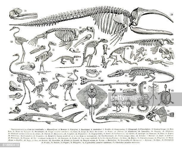 animal skeletons engraving - animal skeleton stock illustrations, clip art, cartoons, & icons