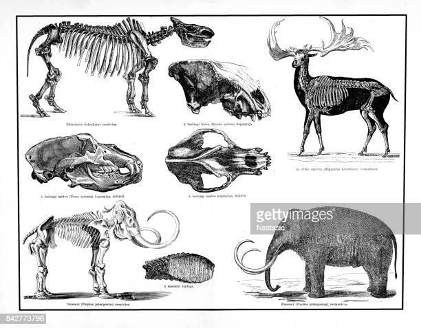 Djur och skelett bildar den pleistocen, mammoth, giant rådjur, cave bear, Fläckig hyena, Rinocerus tichorhinus, Historisch