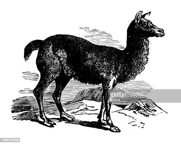 Animales antiguos ilustración grabado: Alpaca