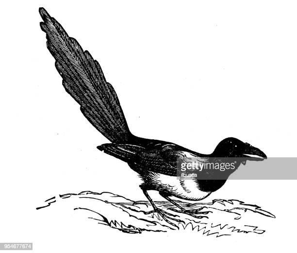 animals antique engraving illustration: american magpie - magpie stock illustrations
