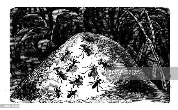Animals antique engraving illustration: Ant hill