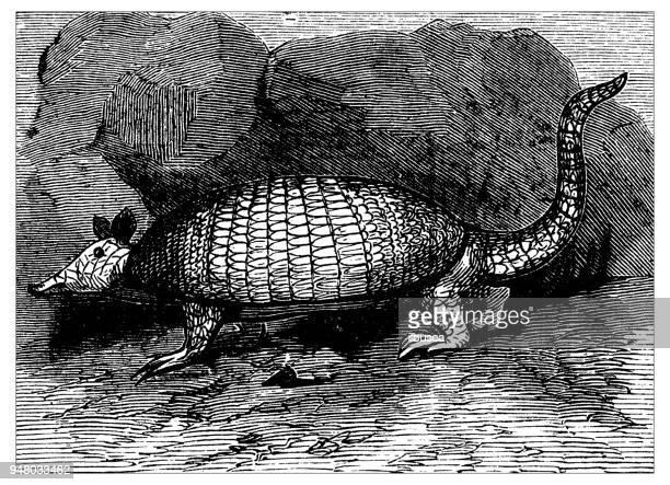 Animals antique engraving illustration: Armadillo