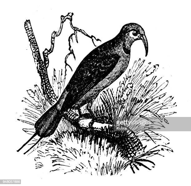 Animales antiguos ilustración grabado: devorador de abejas