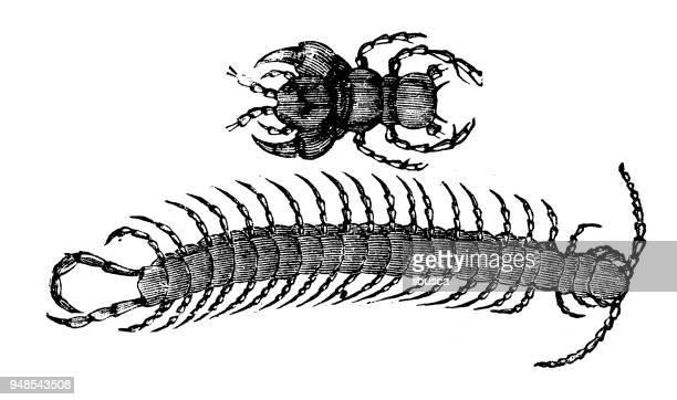 ilustrações de stock, clip art, desenhos animados e ícones de animals antique engraving illustration: centipede - centopeia