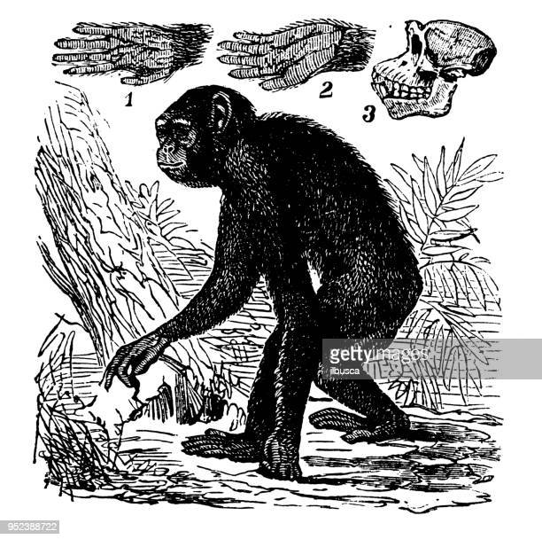 animals antique engraving illustration: chimpanzee - chimpanzee stock illustrations, clip art, cartoons, & icons