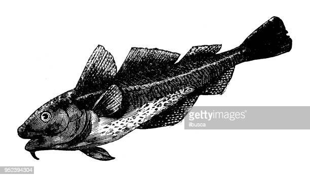 Animals antique engraving illustration: Cod