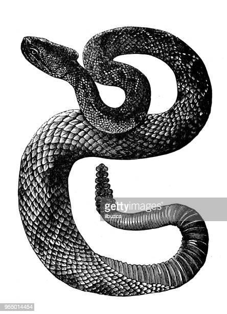 Animals antique engraving illustration: Crotalus or Banded Rattlesnake