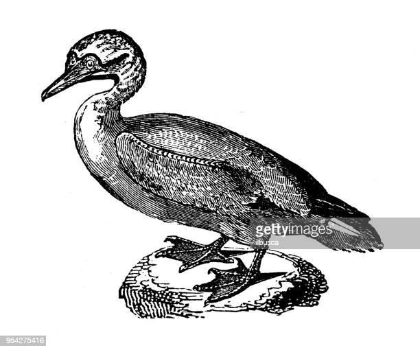 animals antique engraving illustration: gannet - gannet stock illustrations