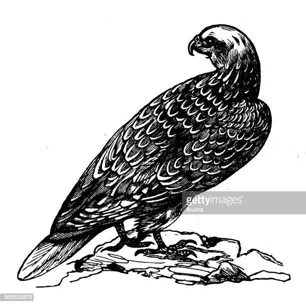 ilustrações de stock, clip art, desenhos animados e ícones de animals antique engraving illustration: gyr falcon - falcon bird