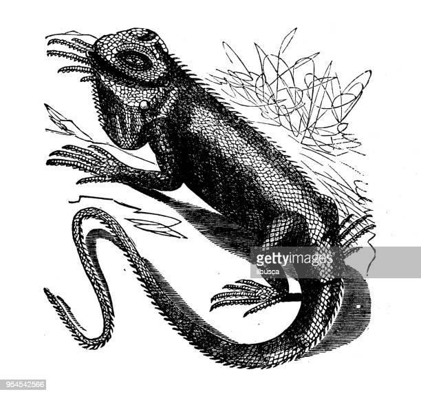 Ilustraciones de Stock y dibujos de Familia De Iguanas | Getty Images