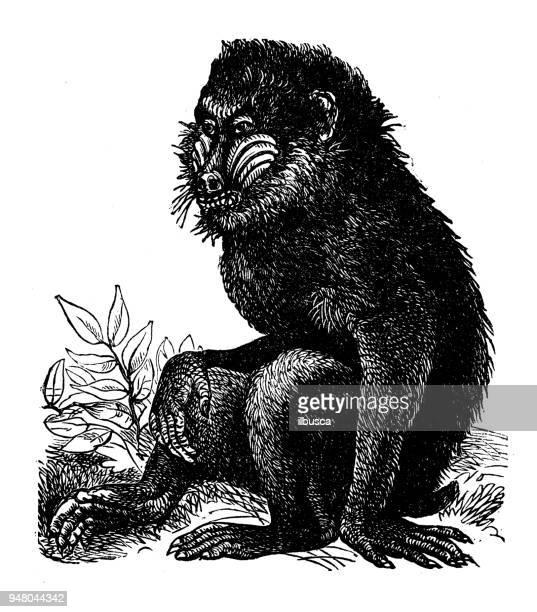 animals antique engraving illustration: mandrill - mandrill stock illustrations, clip art, cartoons, & icons