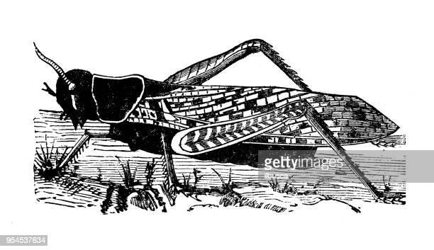 Animals antique engraving illustration: Migratory or Eastern Locust