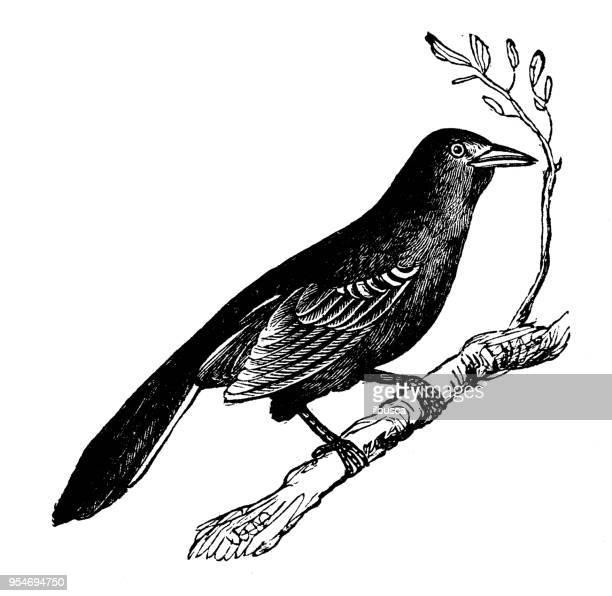 animals antique engraving illustration: mockingbird - mockingbird stock illustrations, clip art, cartoons, & icons