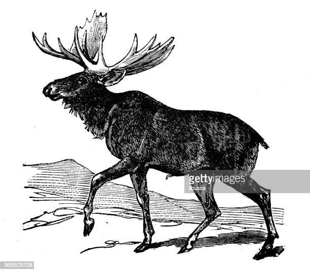 animals antique engraving illustration: moose - elk stock illustrations