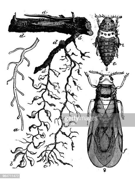 ilustrações, clipart, desenhos animados e ícones de animais antiga ilustração de gravura: filoxera - zoologia