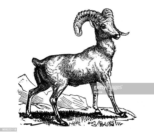 ilustrações, clipart, desenhos animados e ícones de animais antiga ilustração de gravura: rocky mountain ovelhas - zoologia
