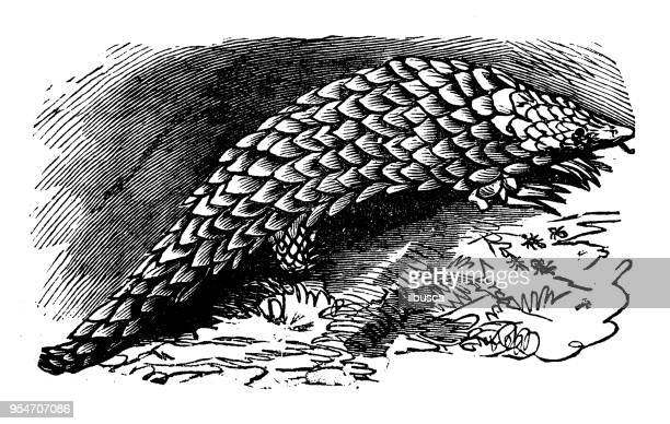 illustrations, cliparts, dessins animés et icônes de animaux antique illustration de gravure : pangolin d'à queue courte - pangolin