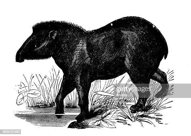 Animals antique engraving illustration: Tapir