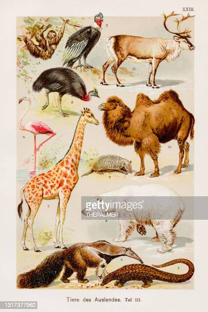 animals chromolithography 1899 - giant anteater stock illustrations