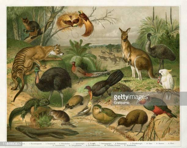 animals in australia tasmania and new zealand 1896 - animal wildlife stock illustrations