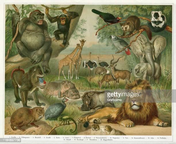 ilustrações, clipart, desenhos animados e ícones de animais em etiópia ilustram áfrica 1896 - ethiopia