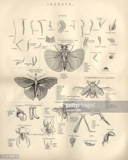 tiere, insekten, fliegen, 19. jahrhundert - gliedmaßen körperteile stock-grafiken, -clipart, -cartoons und -symbole
