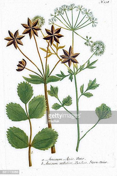 Anís planta se utiliza como gusto, licor, medicina herbaria