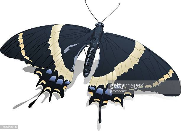 Anise Swallow Tail Butterfly