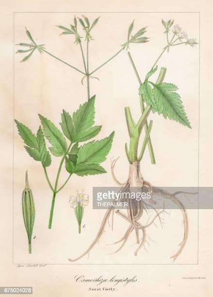 Aniseroot botánico grabado de 1843