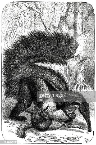 ant-eater fighting with a dog - giant anteater stock illustrations