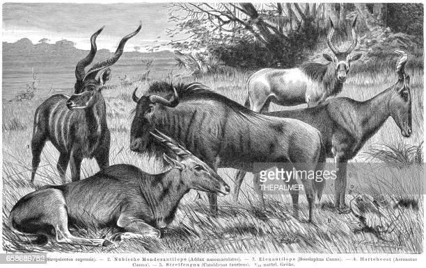 antelopes engraving 1895 - kudu stock illustrations, clip art, cartoons, & icons