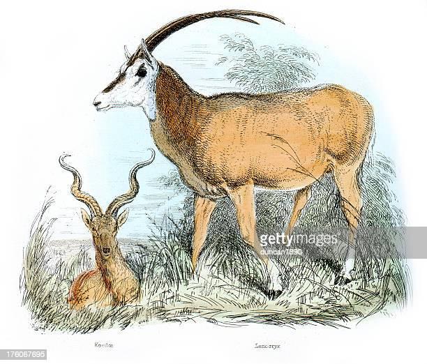 antelopes - koedoe and leucoryx - kudu stock illustrations, clip art, cartoons, & icons