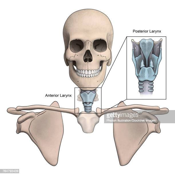 Anterior and posterior larynx and skeletal anatomy.