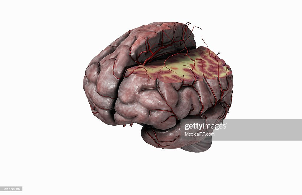 Anterior Anatomy Diagram Human Brain Car Wiring Diagrams Explained