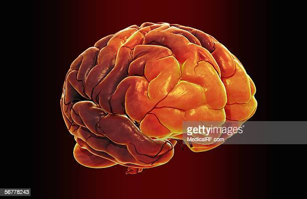 anterior angled view of the human brain. - pons stock illustrations, clip art, cartoons, & icons