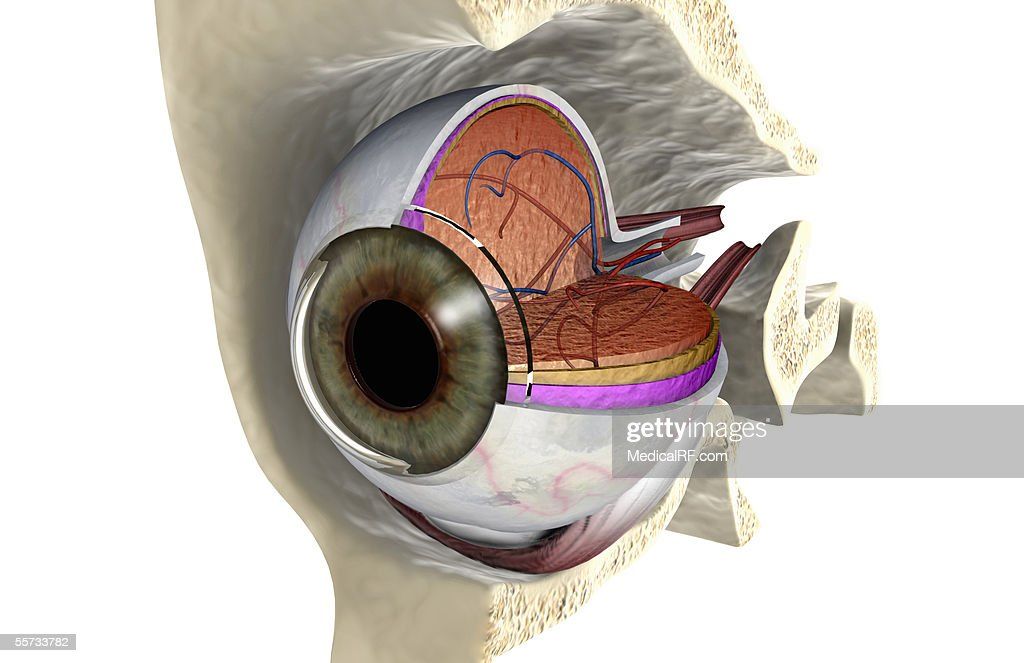 Anterior Angled View Of The Right Eyeball Exposed In The Eye Socket ...