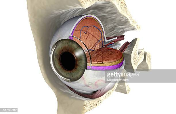 anterior angled view of the right eyeball exposed in the eye socket. - cutaway drawing stock illustrations