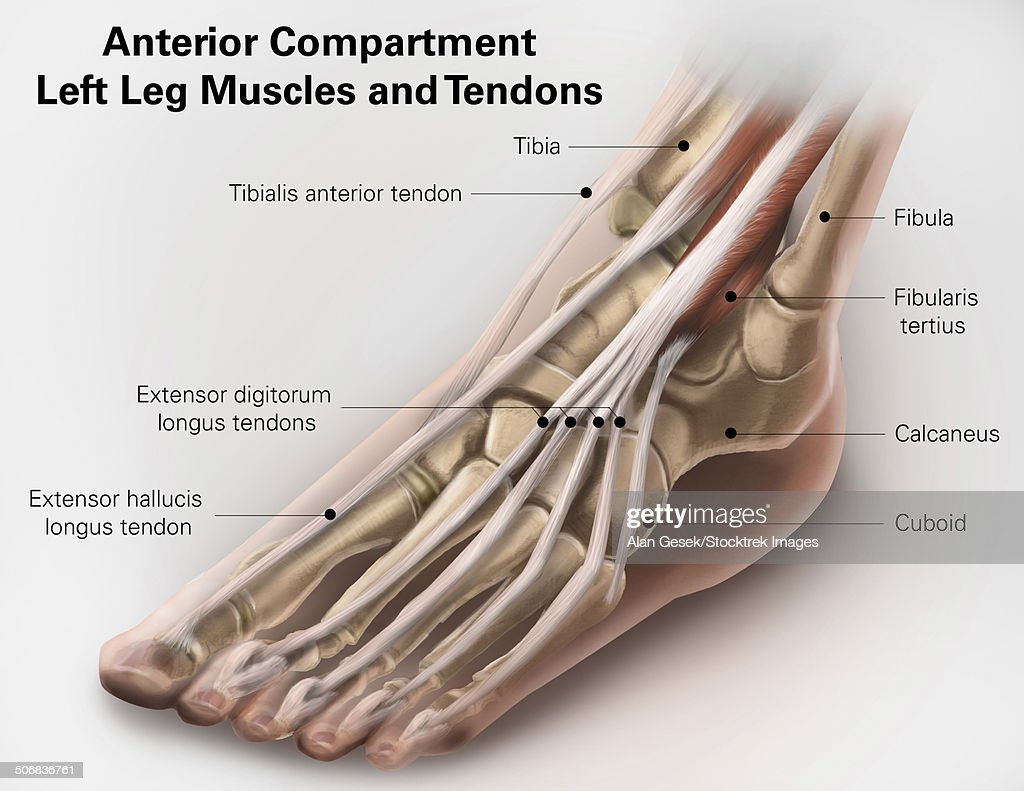 Anterior Compartment Anatomy Of Left Leg Muscles And Tendons Stock ...