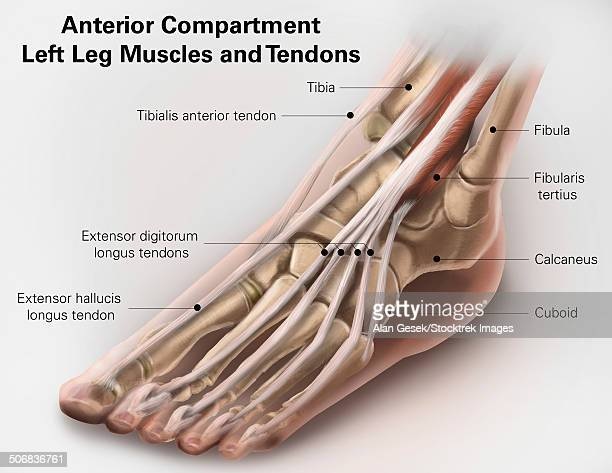 anterior compartment anatomy of left leg muscles and tendons. - 靭帯点のイラスト素材/クリップアート素材/マンガ素材/アイコン素材