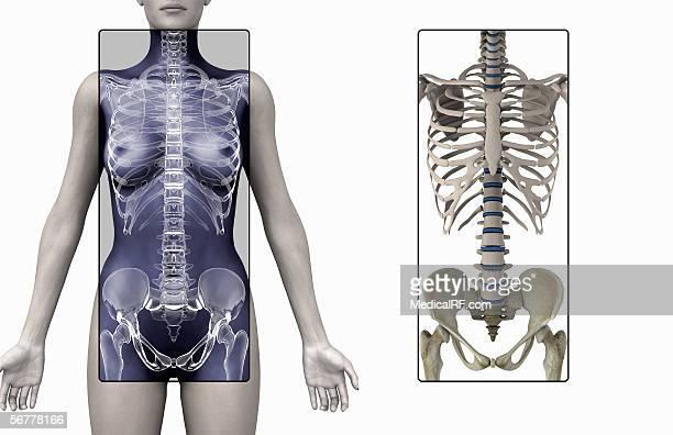 Anterior illustration of the skeleton in a female torso.