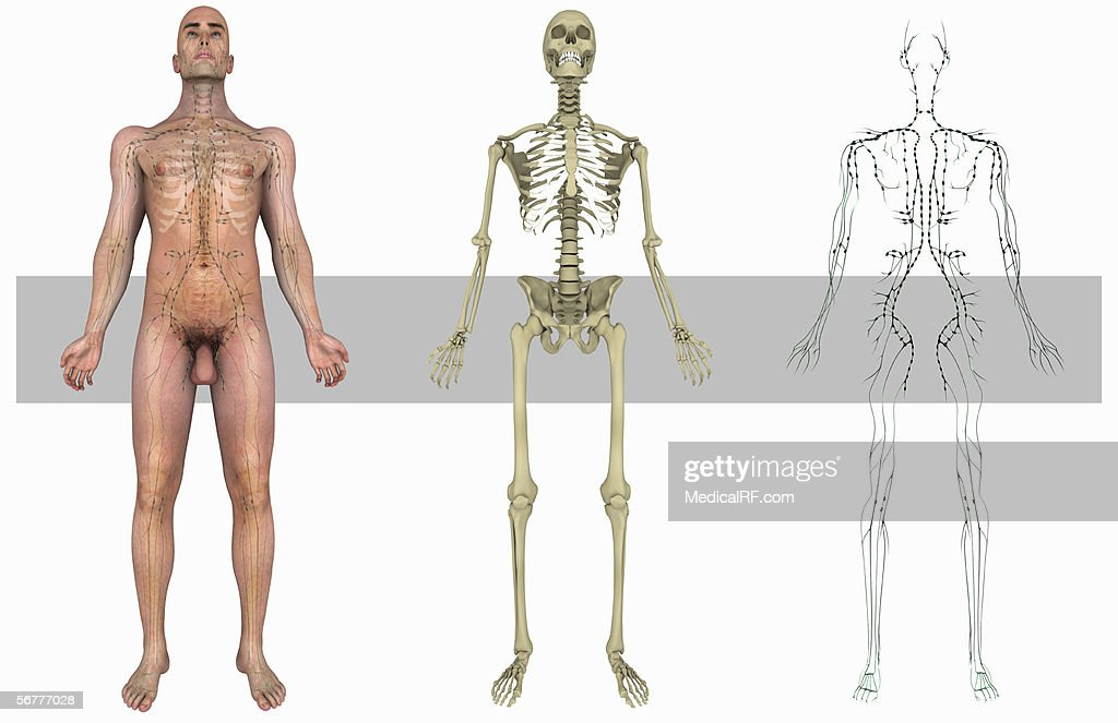 Anterior Illustration Showing A Male Body Skeletal System And