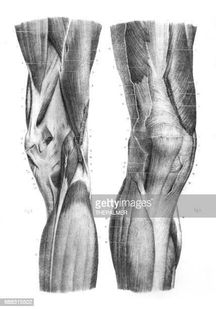 Anterior knee region anatomy engraving 1866