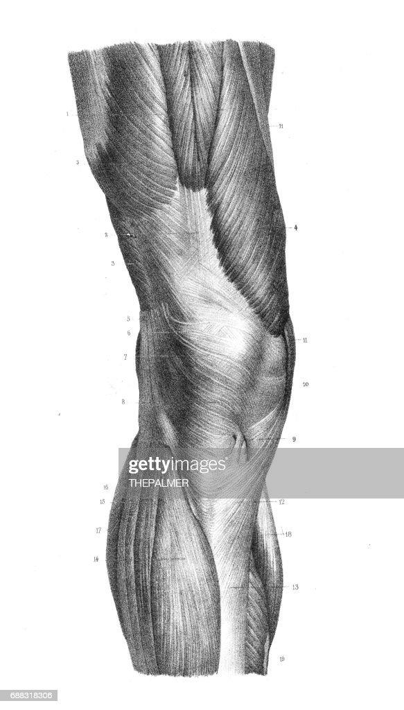 Anterior Knee Region Anatomy Engraving 1866 Stock Illustration ...
