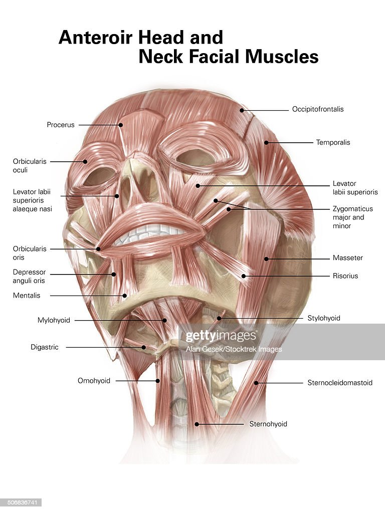 Neck Muscle Diagram Without Labels Diy Enthusiasts Wiring Diagrams