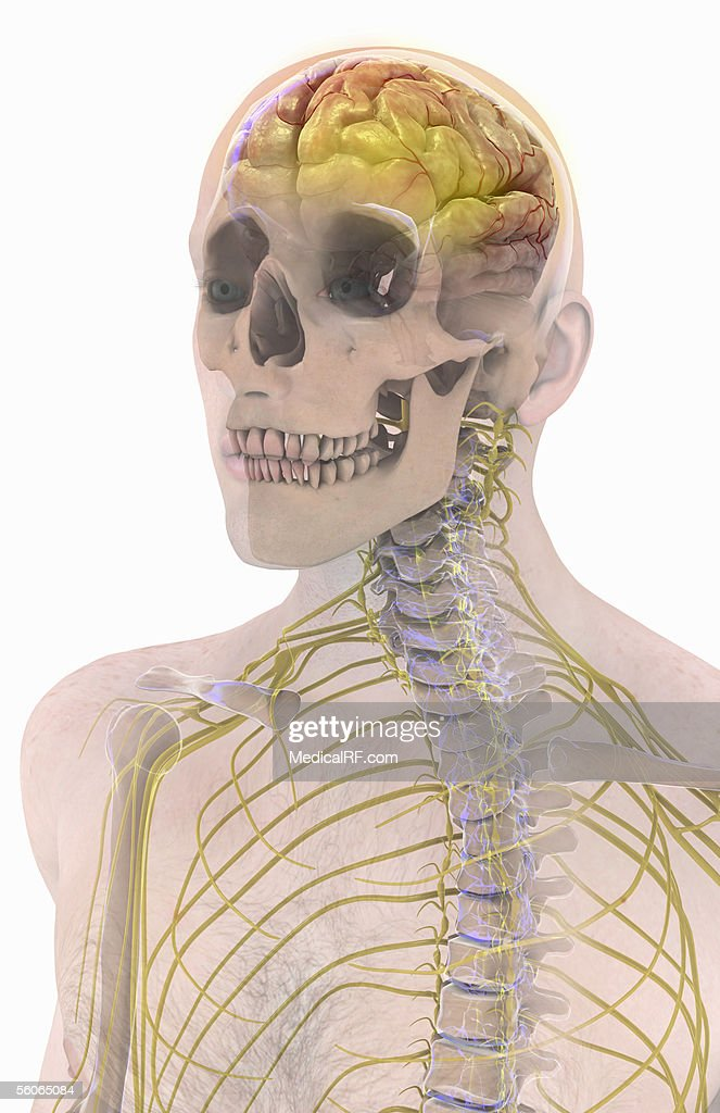 Anterior View Angled To The Left Hand Side Of A Male Head And Thorax ...