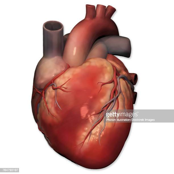 anterior view of human heart anatomy. - myocardium stock illustrations, clip art, cartoons, & icons