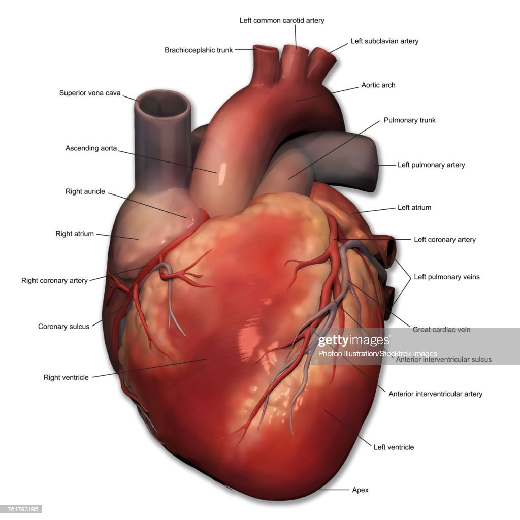 Anterior view of human heart anatomy with annotations stock anterior view of human heart anatomy with annotations ccuart Images