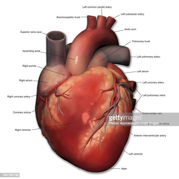 Superior Vena Cava Stock Illustrations And Cartoons   Getty Images