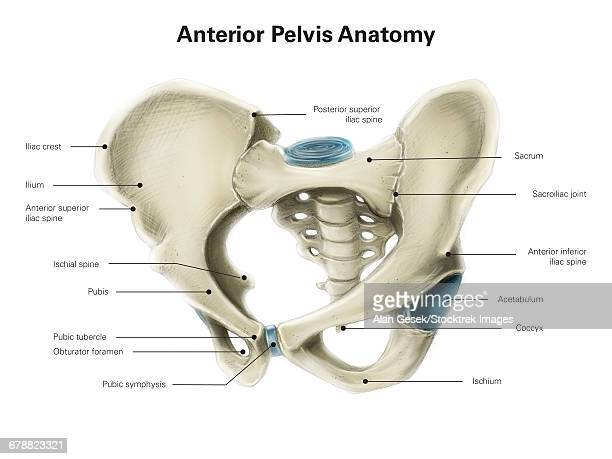 anterior view of human pelvis, with labels. - animal spine stock illustrations, clip art, cartoons, & icons